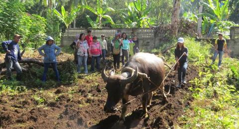 Actual plowing using carabao as demonstrated by a training participant.