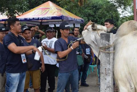 Administering of animal medicine for large ruminants.